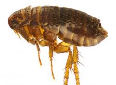 pest control for fleas