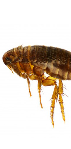 fleas safely controlled