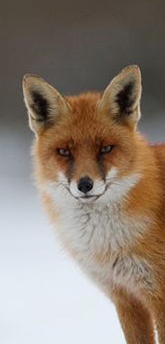 pest control for foxes and fox removal