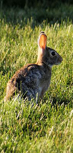 traditional pest control for rabbits